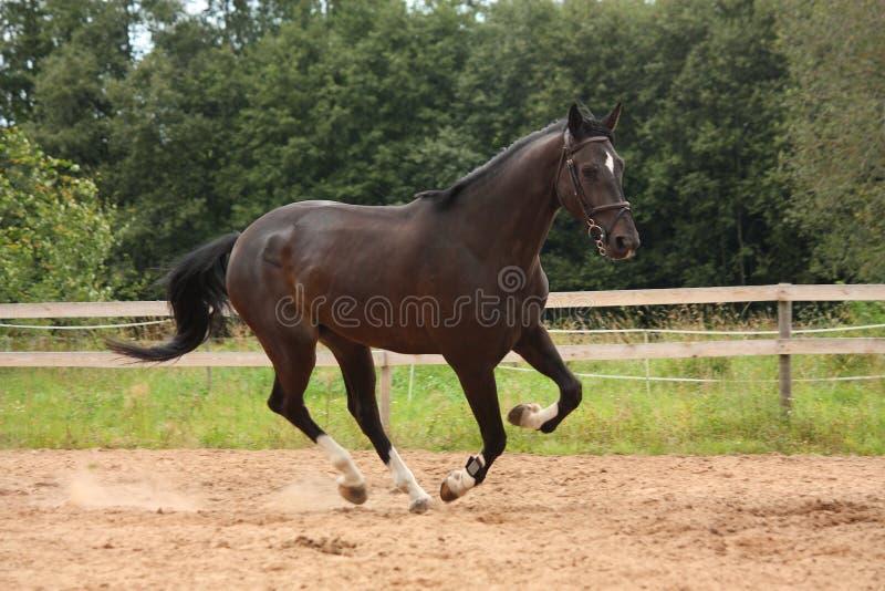 Het zwarte paard galopperen vrij bij het gebied royalty-vrije stock foto