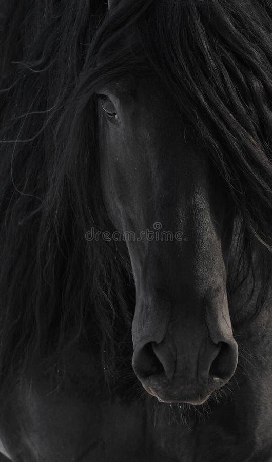 Het zwarte Portret van het Paard Frisian stock afbeelding
