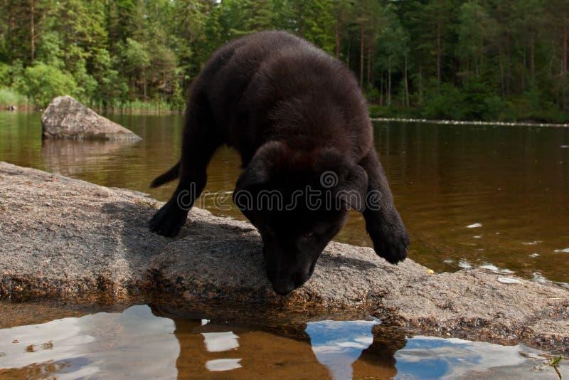 Het zwarte puppy van de Duitse herder `s stock foto's