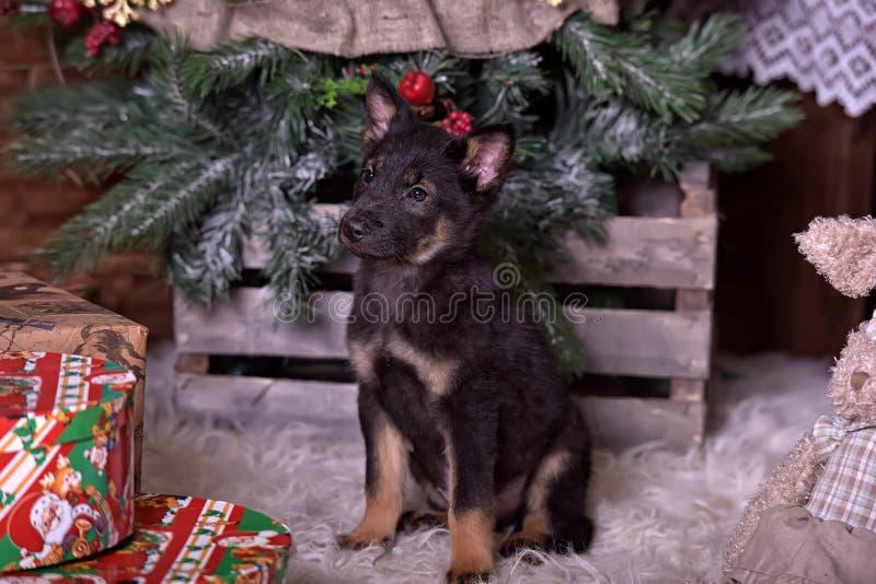 het zwarte puppy van kruisingsherdershonden royalty-vrije stock fotografie