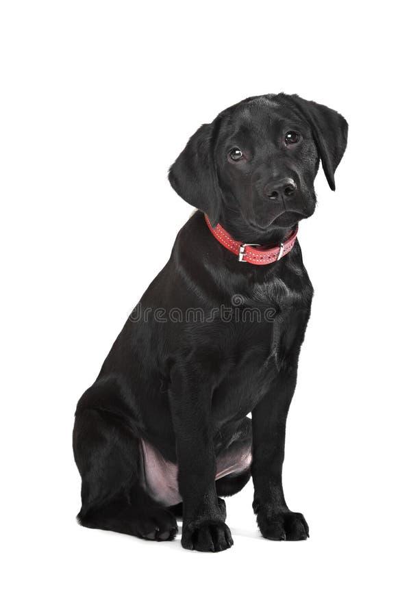 Het zwarte puppy van Labrador stock fotografie