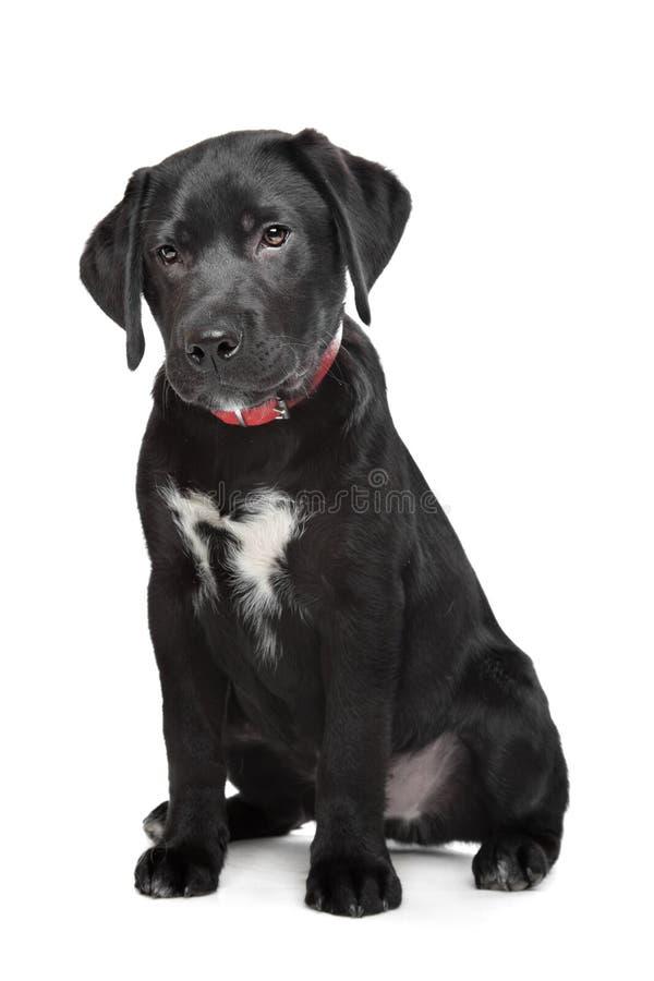Het zwarte puppy van Labrador royalty-vrije stock foto