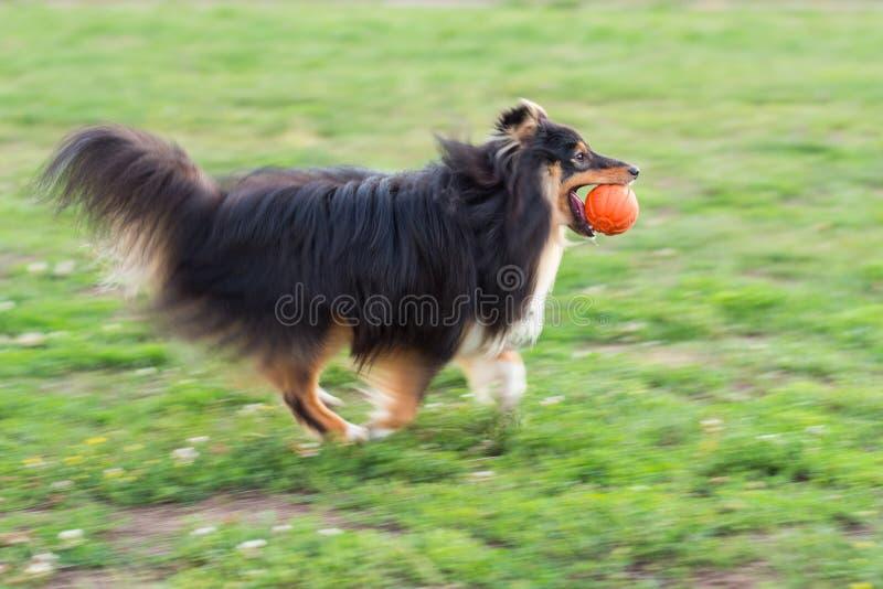 Het zwarte sheltie spelen met oranje bal op groen gras stock afbeeldingen