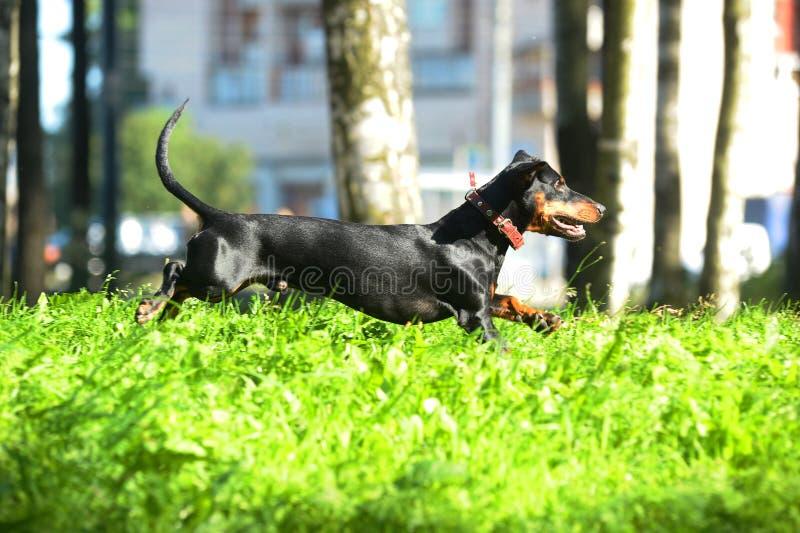 Het zwarte tekkel springen, die op het gras loopt royalty-vrije stock foto
