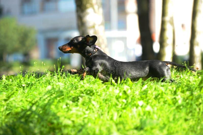 Het zwarte tekkel springen, die op het gras loopt stock fotografie