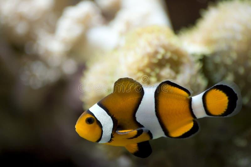 Het zwemmen Clownfish royalty-vrije stock afbeeldingen
