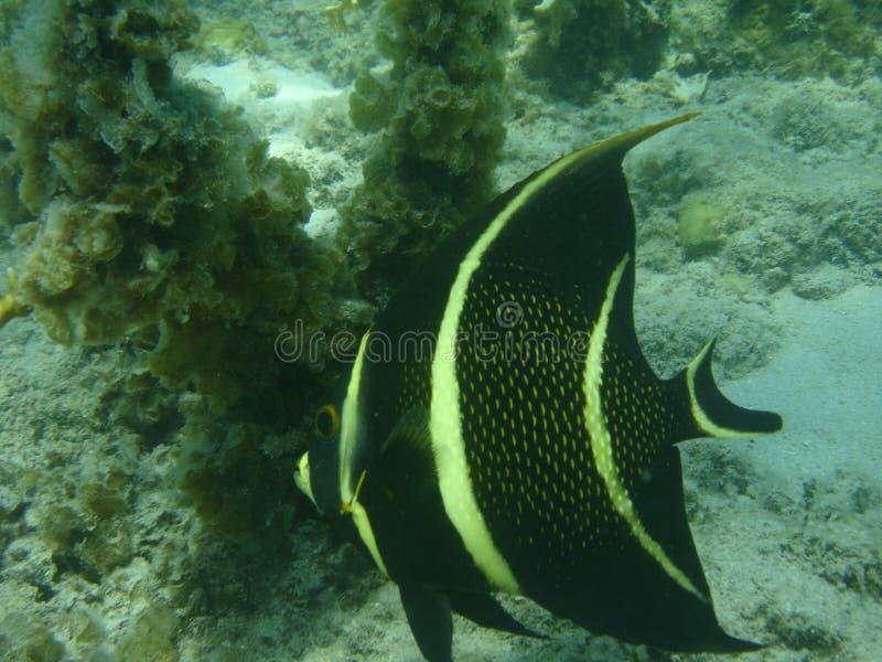 Het zwemmen Engel, de Caraïben, Puerto Rico stock afbeelding
