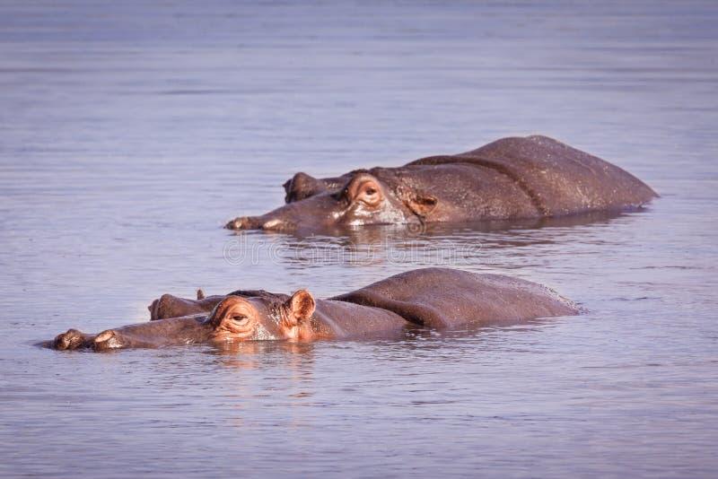 Het zwemmen Hippos royalty-vrije stock afbeelding