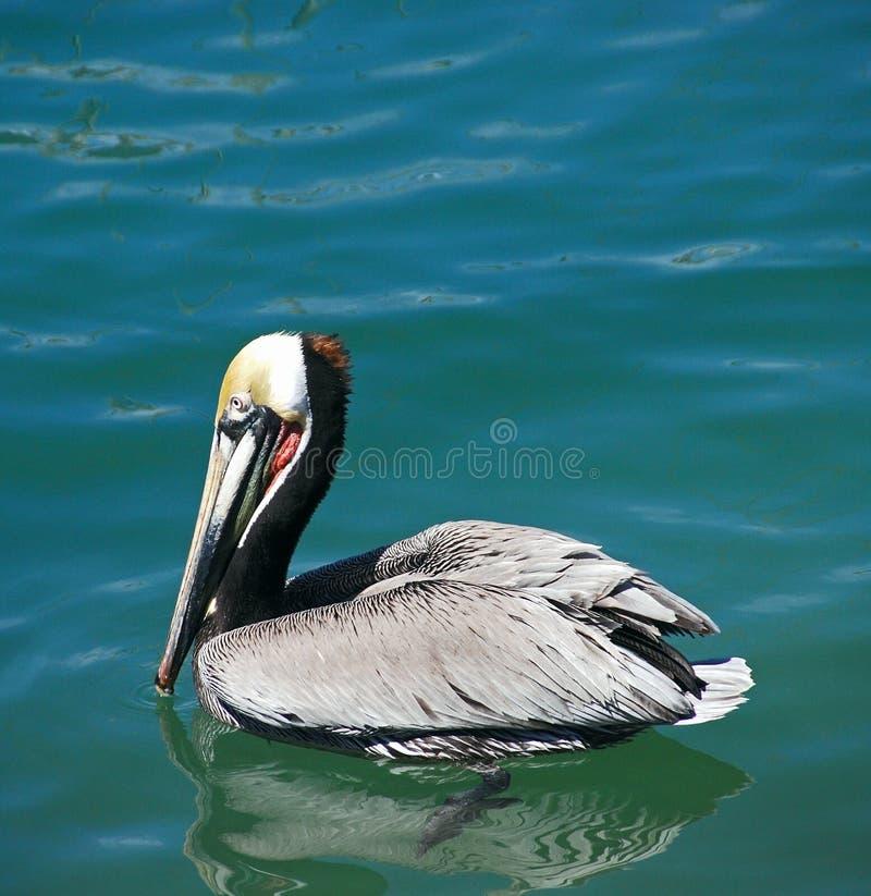 Het Zwemmen van de pelikaan royalty-vrije stock fotografie