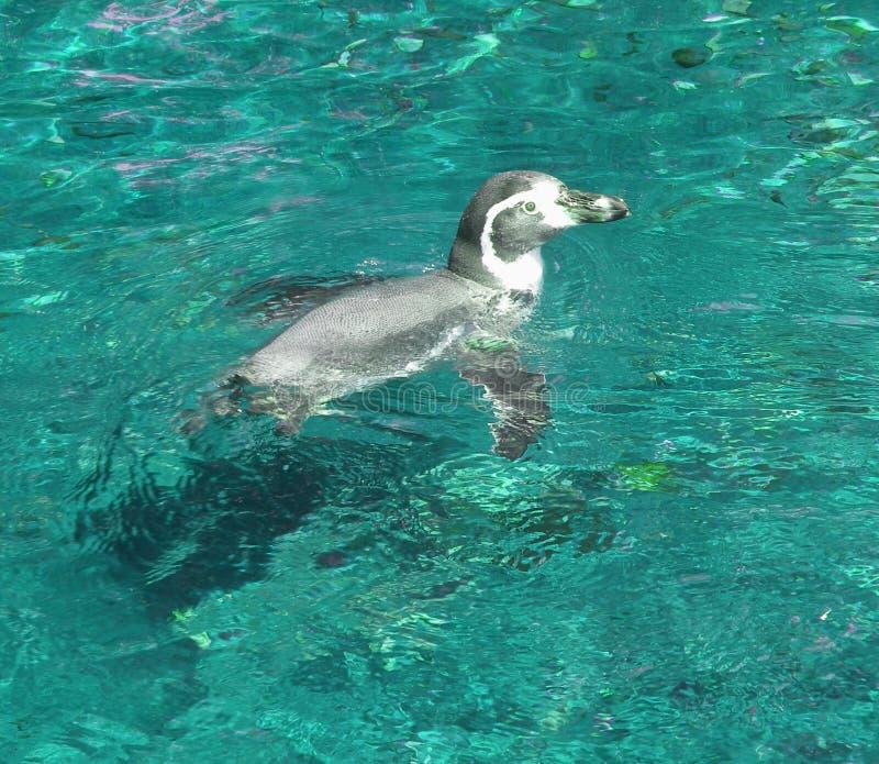 Het zwemmen van de pinguïn royalty-vrije stock foto's