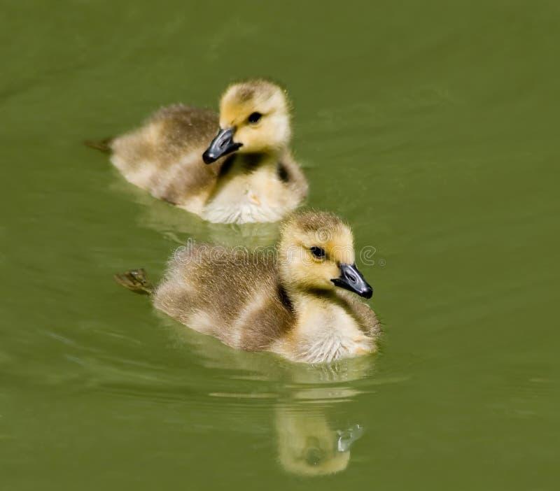 Het Zwemmen van eendjes royalty-vrije stock fotografie