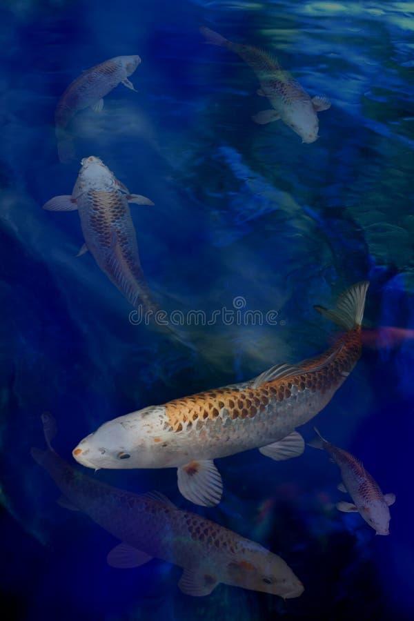 Het zwemmen van Koi stock foto's