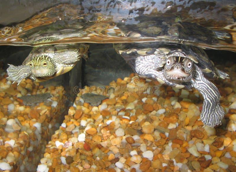 Het Zwemmen van schildpadden royalty-vrije stock afbeeldingen