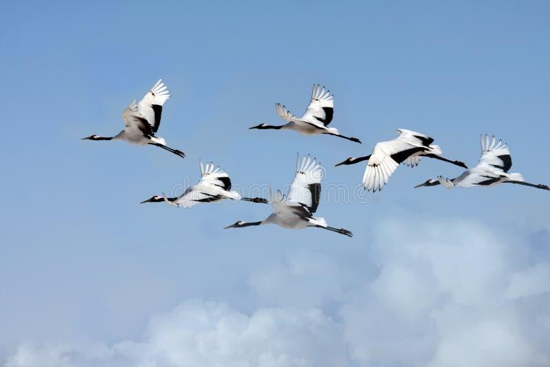 Hetbekroonde kranen vliegen royalty-vrije stock afbeeldingen