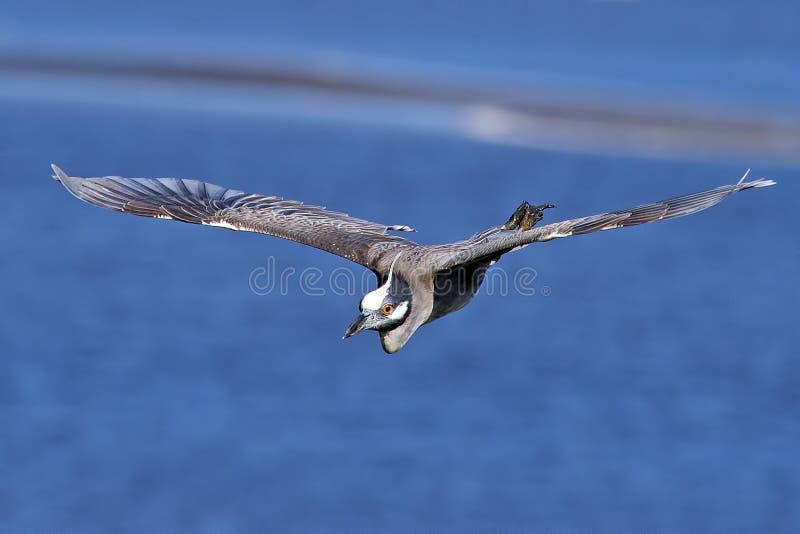 Hetbekroonde Nachtreiger Vliegen royalty-vrije stock fotografie
