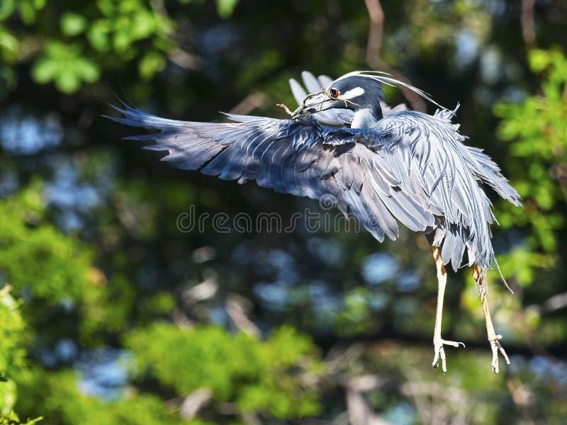 Hetbekroonde Nachtreiger Vliegen stock afbeeldingen