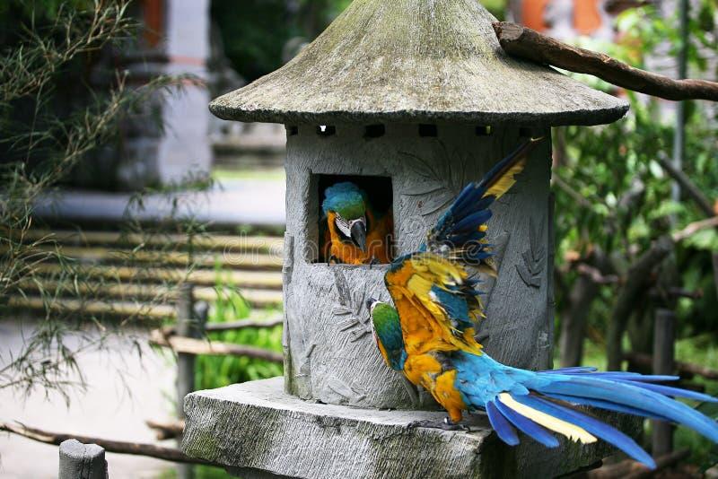 Hetblauwe kleurrijke papegaai twee vechten royalty-vrije stock afbeeldingen