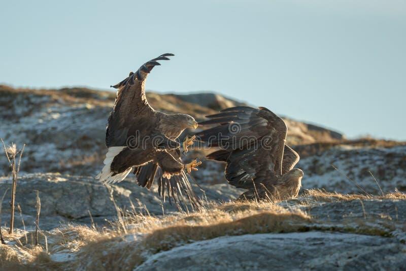 Hetde steel verwijderde van adelaars vechten stock fotografie