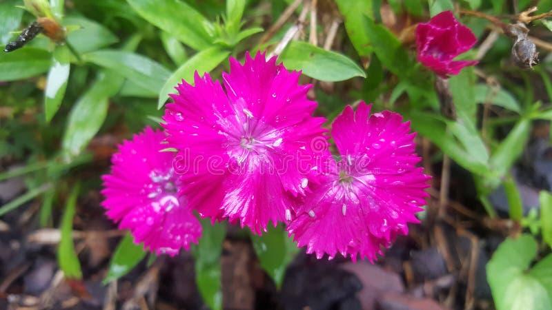 Hete Roze Bloemen stock afbeeldingen