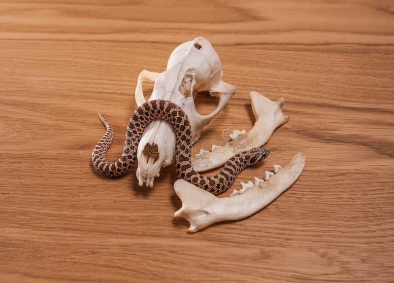 Heterodon nasicus, western ostrożnie wprowadzać węża z lis czaszką na drewnianym tle zdjęcia royalty free
