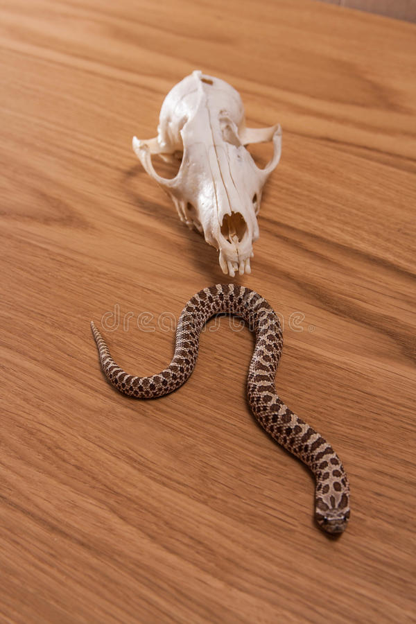 Heterodon nasicus, western ostrożnie wprowadzać węża z lis czaszką na drewnianym tle obrazy stock