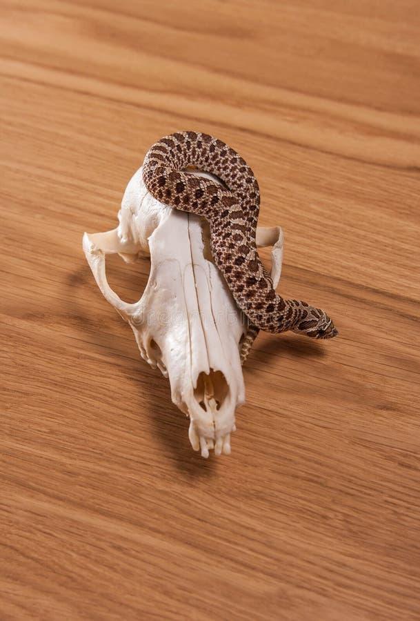 Heterodon nasicus, western ostrożnie wprowadzać węża z lis czaszką na drewnianym tle fotografia stock
