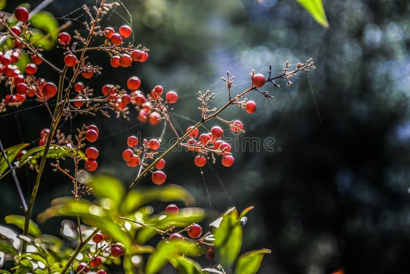 Heteromelesarbutifolia die in een tuin in Georgië, de zomer bloeien stock fotografie