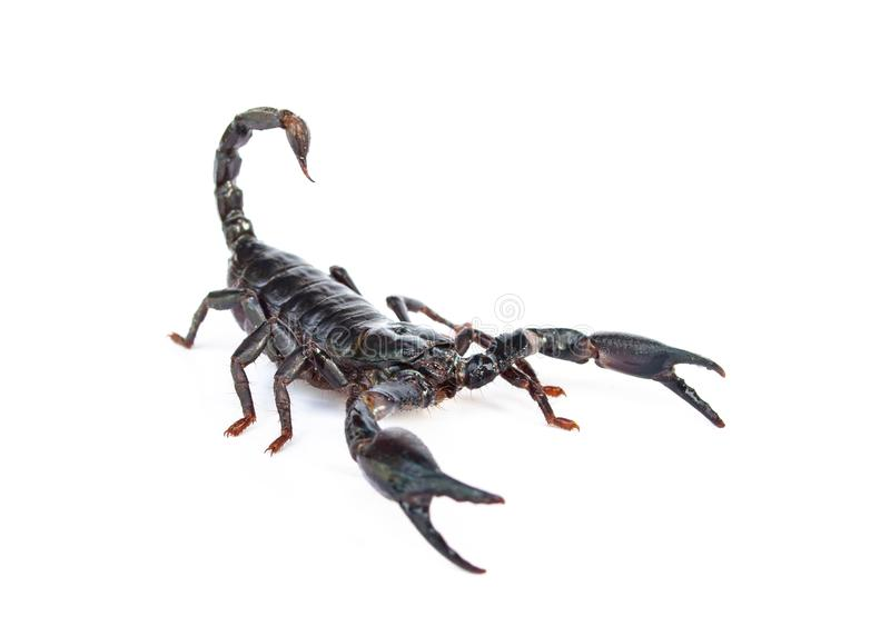 Heterometrus longimanus back scorpion.Emperor Scorpion, Pandinus imperator.scorpion isolate on white background. stock photography