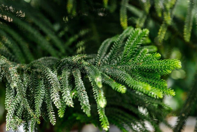 Heterophylla latino de la araucaria del nombre del pino de isla de Norfolk fotografía de archivo