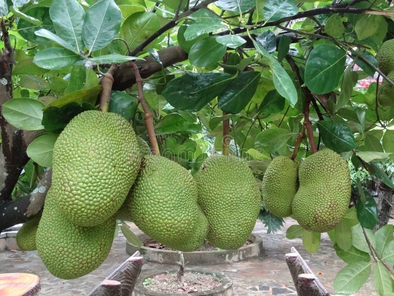 Heterophyllus de Artocarpus - jackfruit imagem de stock royalty free