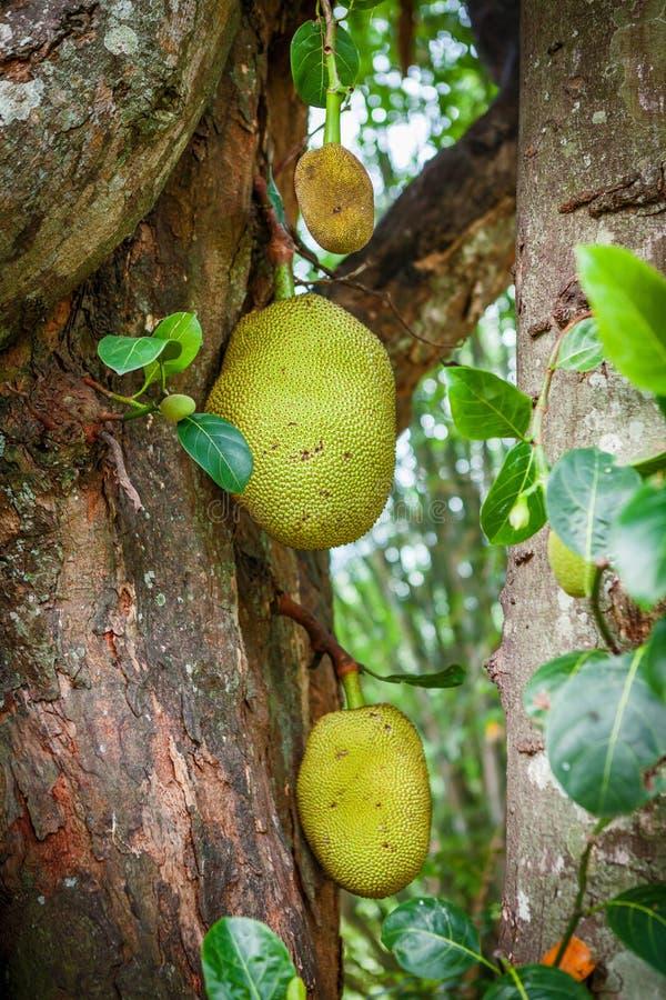 Heterophyllus ou fenne de Artocarpus do Jackfruit que crescem em uma árvore de fruto do jaque em um jardim tropical em Sri Lanka imagens de stock