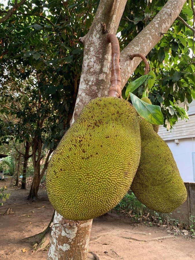 Heterophyllus ou jackfruit de Artocarpus na árvore fotografia de stock