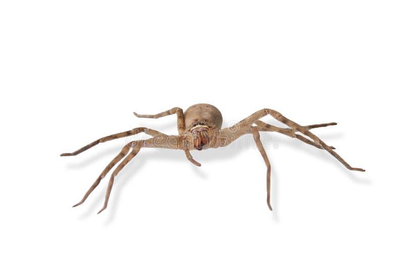 Heteropoda venatoria是在白色背景孤立的棕色蜘蛛 免版税图库摄影