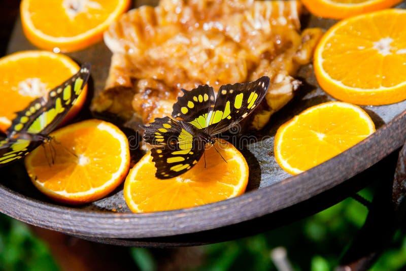 Hetgele vlinder voeden op sinaasappelen stock foto's