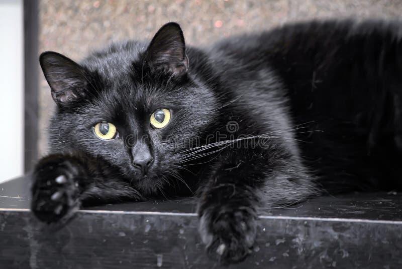 Hetgevoede zwarte kat liggen stock fotografie
