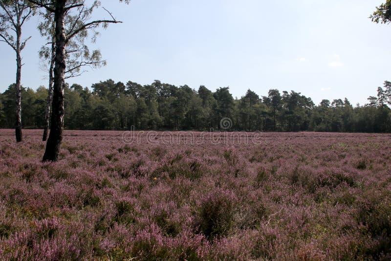 Hethland i lila färger i Gelderland på Veluwe i slutet av sommaren i Nederländerna fotografering för bildbyråer