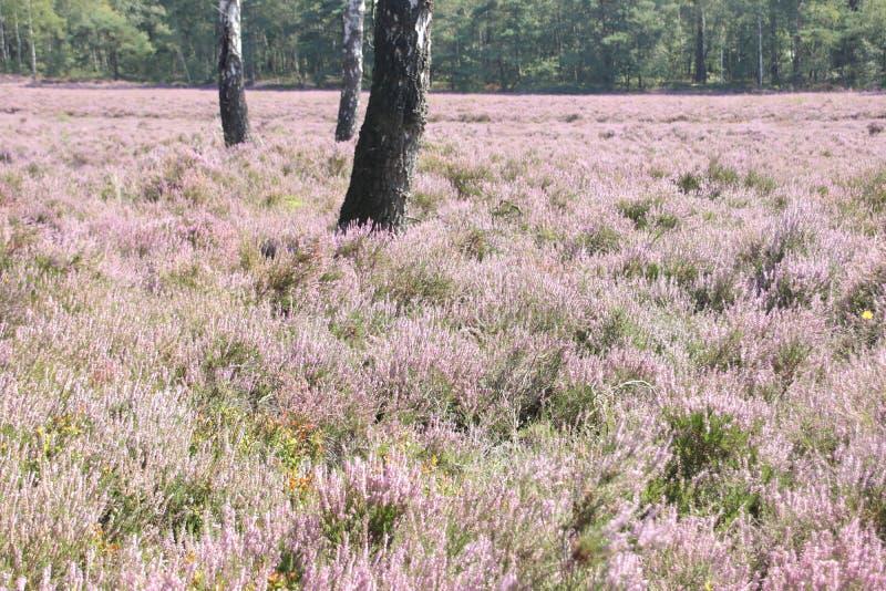 Hethland i lila färger i Gelderland på Veluwe i slutet av sommaren i Nederländerna royaltyfria foton