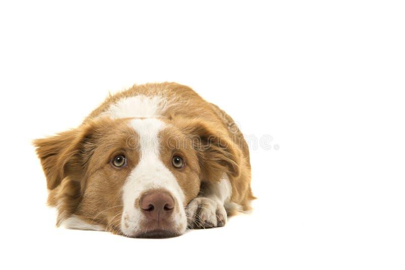 Hetrode border collie-hond liggen die omhoog op een witte backgr kijken stock afbeeldingen