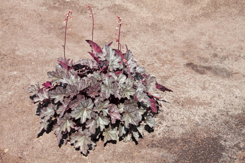 Heuchera stockfotografie
