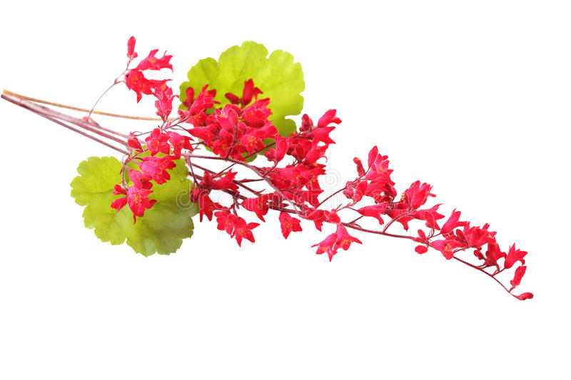 Heuchera Coral Bell royalty free stock images