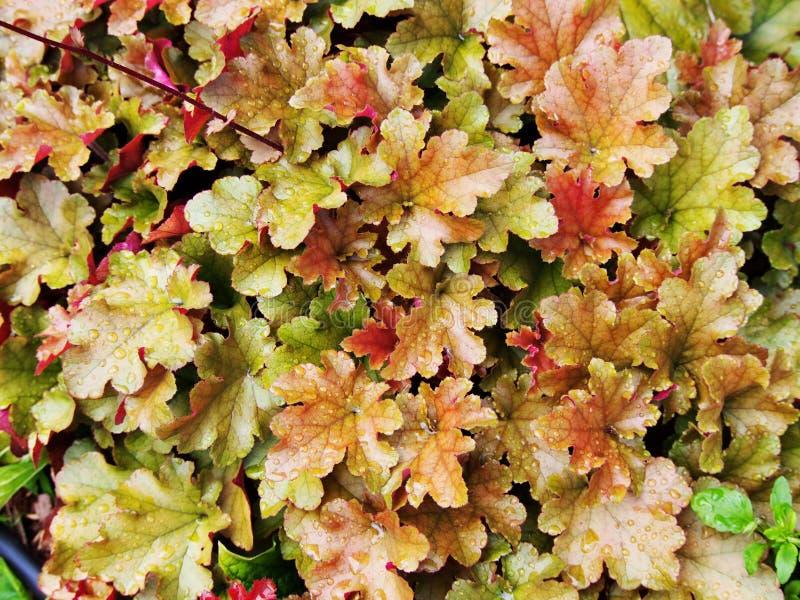 Heuchera 'Marmalade'. (coral bells, alumroot) in the garden royalty free stock photos