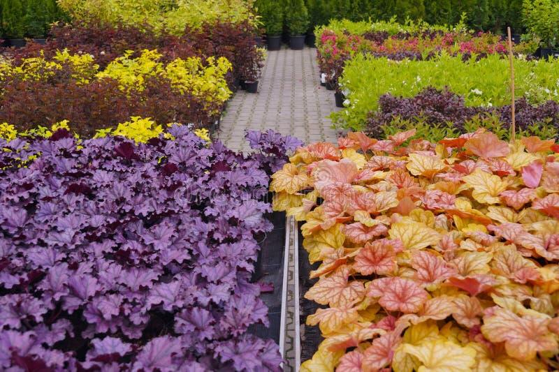 Heucherella, eine extrem populäre, immergrüne Gartenpflanze Kreuzworträtsel Heucherella und des Tiarella Es tritt in vielen Farbe stockbild