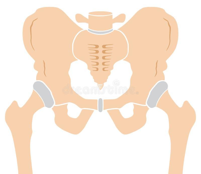 heupbeen vector illustratie