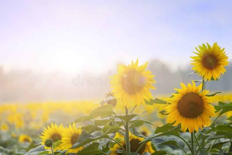 Heure d'été : Trois tournesols à l'aube photographie stock libre de droits
