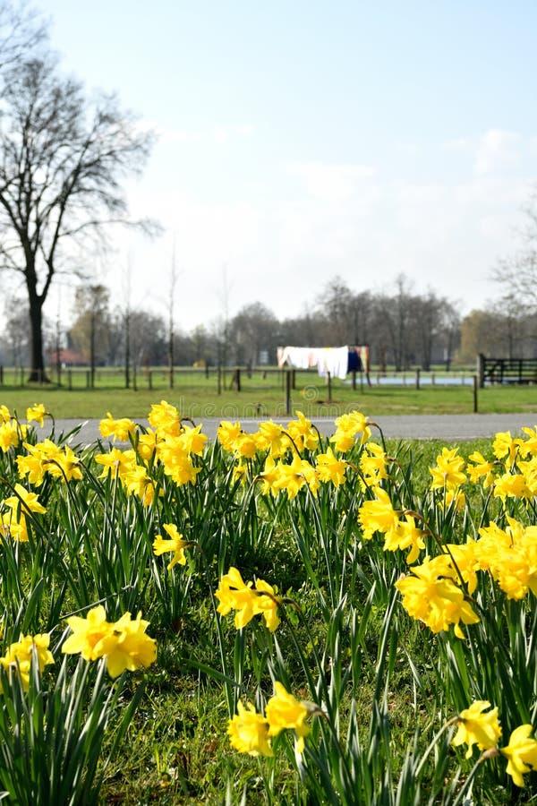 Heure de traîner la blanchisserie au soleil Les jonquilles sont pleines en fleur en mars images stock