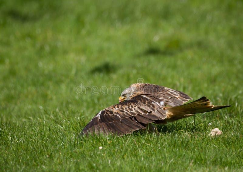 Heure du repas pour des cerfs-volants photos libres de droits