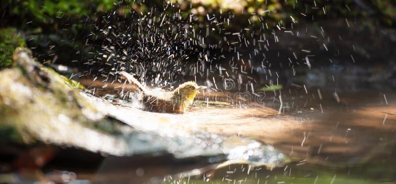 Heureux un petit Bulbul Souffle-throated appréciant se baigner dans l'eau douce dans le puits Réserve naturelle de Phukhieo, Thaï image stock