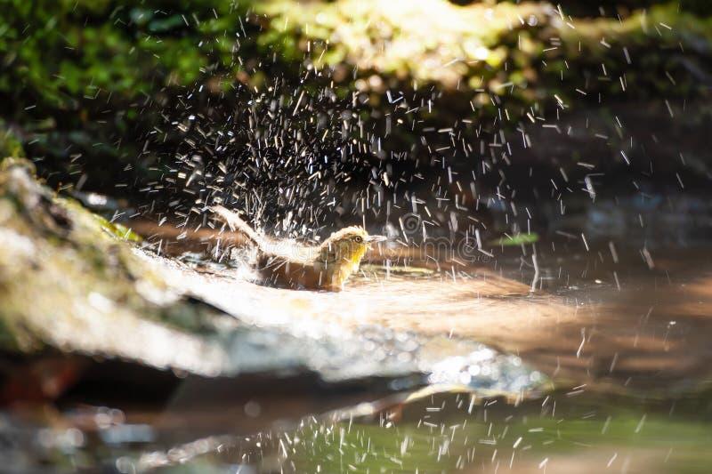 Heureux un petit Bulbul Souffle-throated appr?ciant se baigner dans l'eau douce dans le puits R?serve naturelle de Phukhieo, Tha? image libre de droits