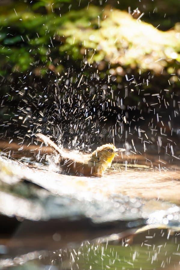Heureux un petit Bulbul Souffle-throated appr?ciant se baigner dans l'eau douce dans le puits R?serve naturelle de Phukhieo, Tha? photos stock