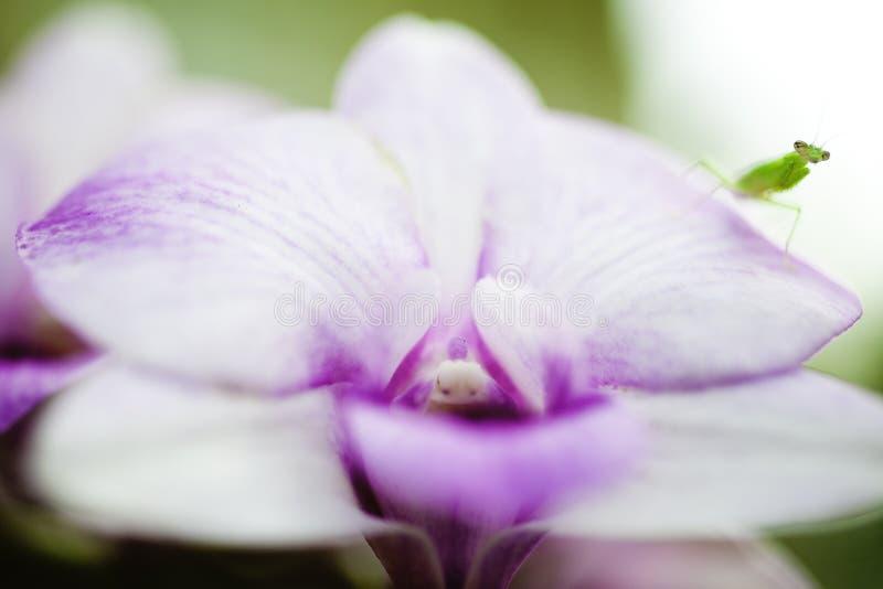 Heuschrecke auf Orchideen. lizenzfreies stockbild